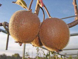 Hayward Kiwifruit