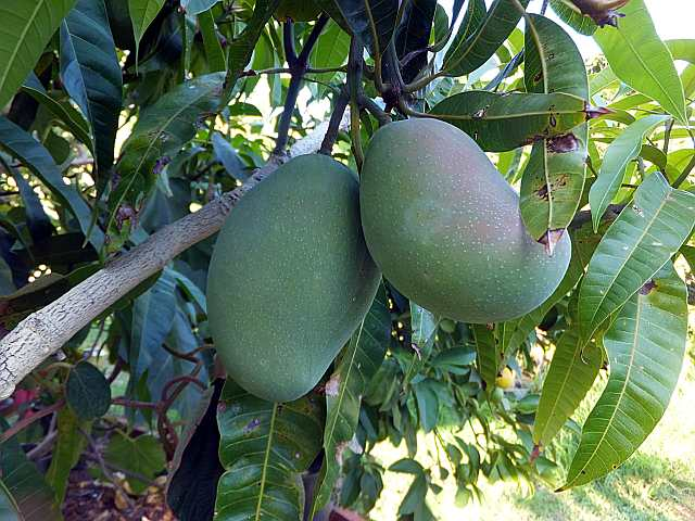"Mango ""Kensington Pride"" in South Suburban Adelaide"