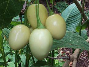 Tamarillo White Egg unripe