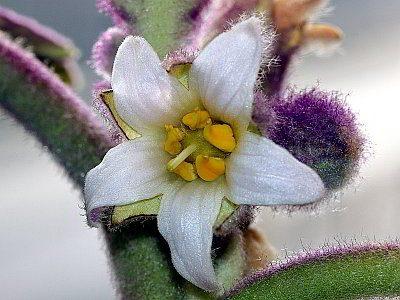 Naranjilla flower - Joe's