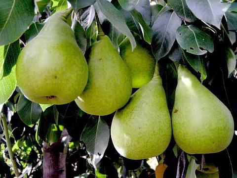NoName Pear