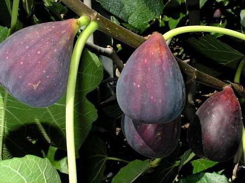 Red Conadria Fig