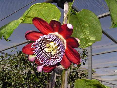 Sweet Granadilla passionfruit