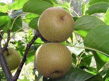 "Nashi pear ""Hosui"""