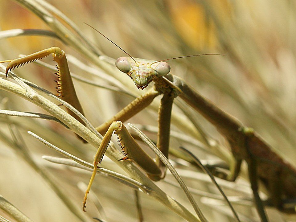 Large Brown Mantis Archimantis sobrina
