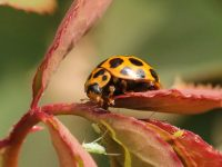 Ladybirds and their larvae are voracious predators of aphids