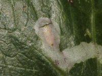 Leafminers don't just affect Citrus