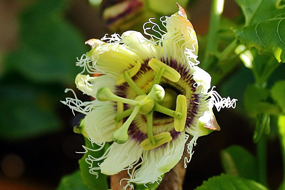 Passionfruit blossom variety Panama Gold